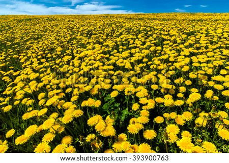 Background from a field of dandelions on a sunny day. - stock photo