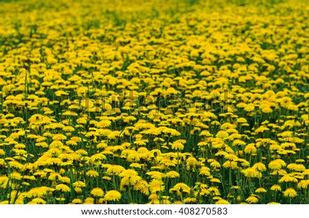 Background from a field of dandelions on a sunny day - stock photo