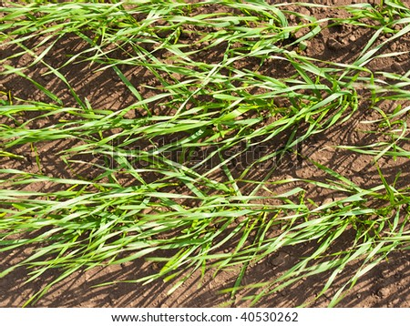 Background from a green sprouting grass and the black earth - stock photo