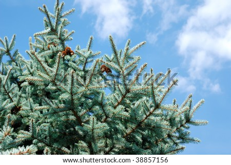 Background from branches of a natural fur-tree - stock photo