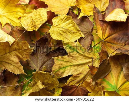 Background from bright multi-coloured maple leaves with green proveins - stock photo