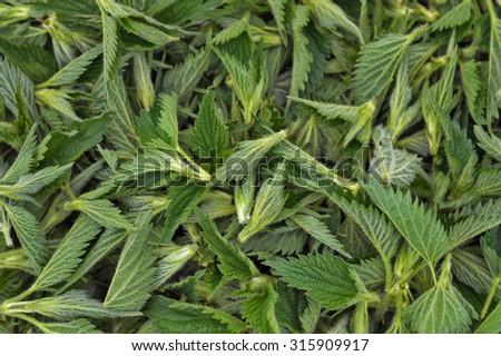 Background from fresh nettle tips - stock photo