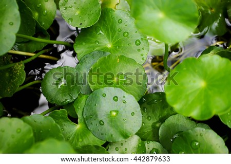 Background Green Gotu kola. - stock photo