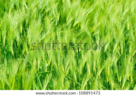 Background, green wheat - stock photo