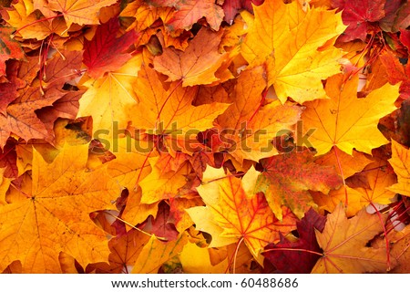 Background group autumn orange leaves. Outdoor. - stock photo