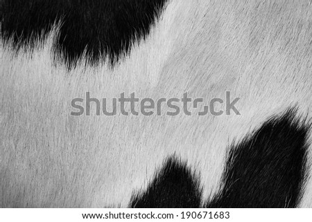 Background of black and white cow fur. - stock photo