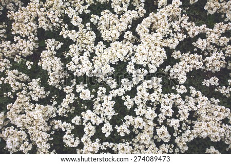 Background of blossoming tree with white flowers in spring - stock photo