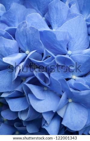 background of blue hydrangea flowers - stock photo