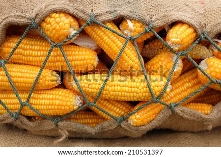 background of corn in sack after harvest field - stock photo