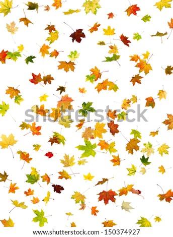 Background of falling maple autumn leaves on white. - stock photo