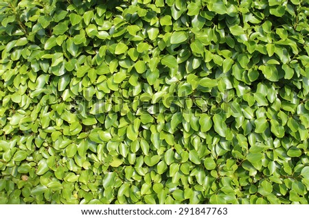 Background of fresh green leaves on a hedge in summer. - stock photo