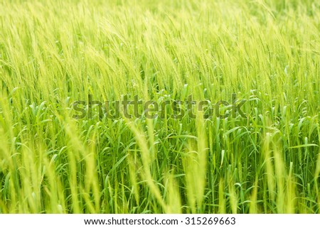 Background of fresh spring Green yellow wheat field ears close up with shallow depth Nature backdrop Close up meadow photo Idea of a rich young harvest - stock photo
