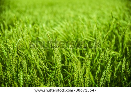 Background of fresh spring Green yellow wheat field ears close up with shallow depth Nature and raw natural food backdrop - stock photo