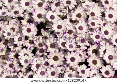 Background of freshly bloomed white spring flowers - stock photo