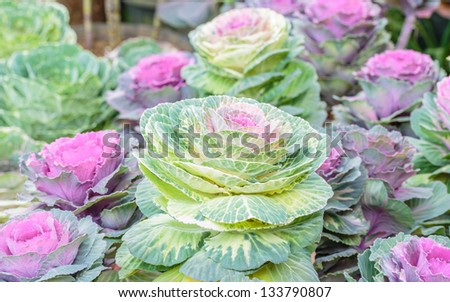 background of green and purple decorative cabbages - stock photo