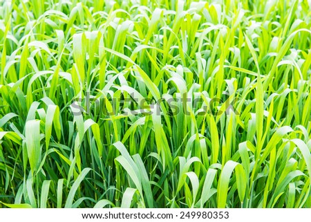 Background of green field, Thailand. - stock photo
