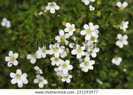 Background of little white flowers blooming bush - stock photo