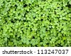 Background of many clover - stock photo