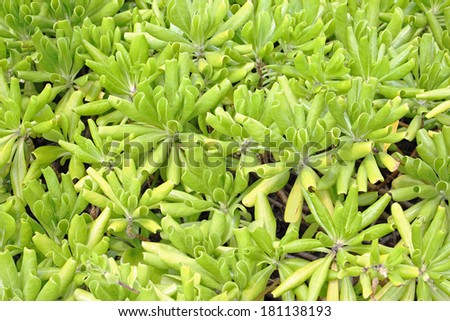 Background of many green plants with curled leaves - stock photo