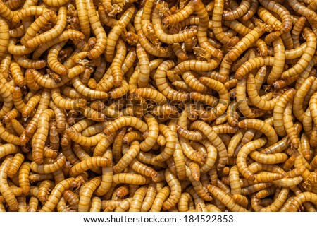 Background of many living Meal worms suitable for Food - stock photo