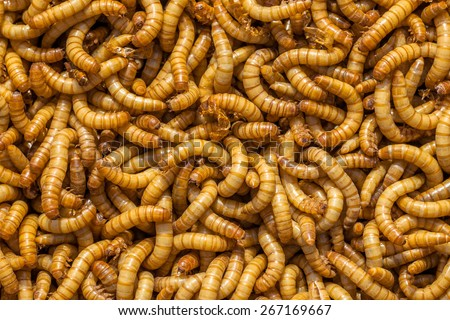 Background of many living Mealworm larvae suitable as Food - stock photo