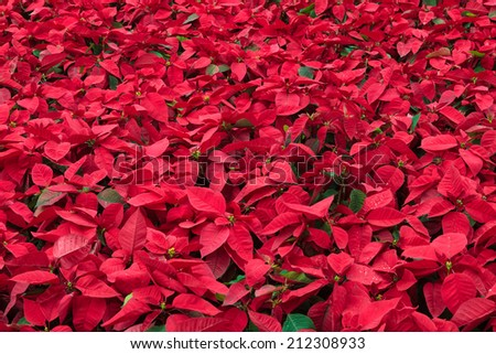 Background of many poinsettia flowers - stock photo