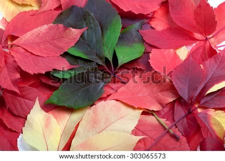 Background of multicolor autumn leafs. Virginia creeper leaves. - stock photo