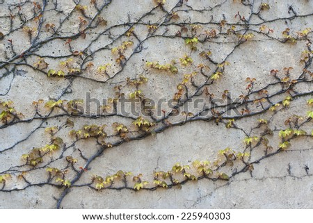 Background of old wall with climbing vines  - stock photo