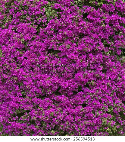 Background of purple bougainvillea flowers. - stock photo