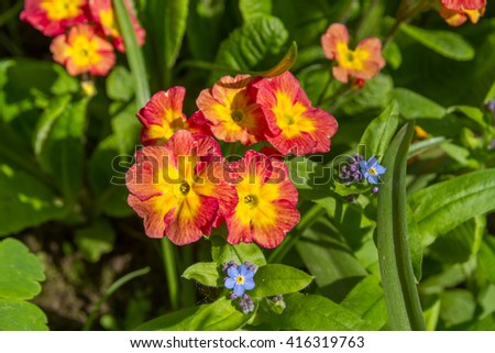 Background of spring flowers. Background of spring flowers. Bright flowers Primrose in the flowerbed under the open sky. Red and yellow flowers of primrose. - stock photo