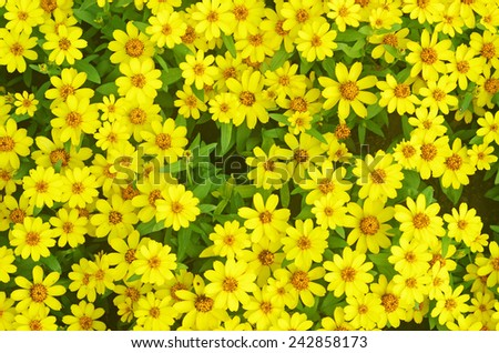 background of the group of yellow daisy flowers  - stock photo