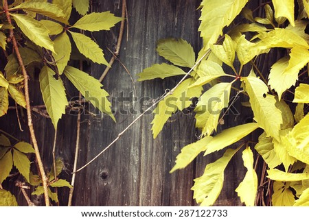 background of the old vintage wood with wild grapes curly ivy - stock photo