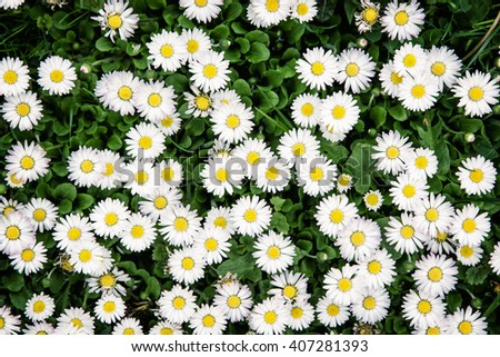 Background of white ox-eye daisies in spring meadow. Seasonal natural scene. - stock photo