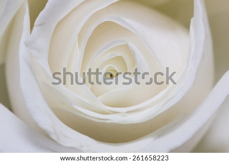 Background of white roses in close-up - stock photo