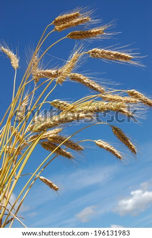 Background shot of ripe rye corn, grown for winter feed as dairy cow silage, Westland, New Zealand - stock photo