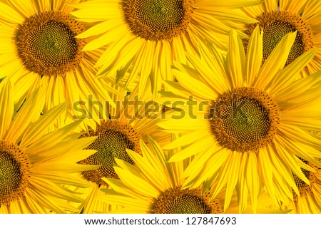 background  sunflowers - stock photo