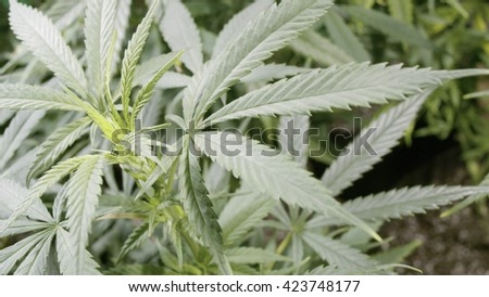 Background Texture of Marijuana Plants at Indoor Cannabis Farm  - stock photo