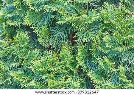 Background - tree branches arborvitae - stock photo