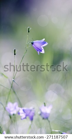 Background with Harebell summer wildflowers - blue Campanula  - stock photo