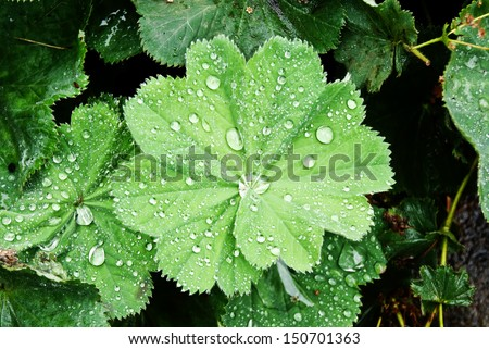 Background with water drops on leaves of Lady's Mantle, top view  - stock photo