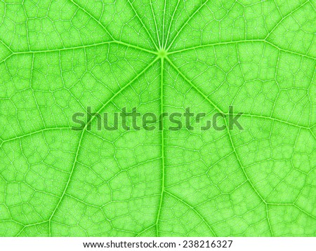 backlight of fresh green Leaf for texture background - stock photo
