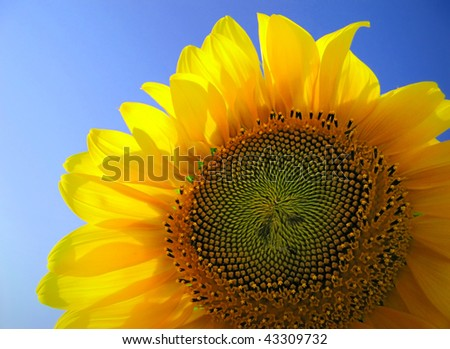 Backlighted sunflower on sky - stock photo