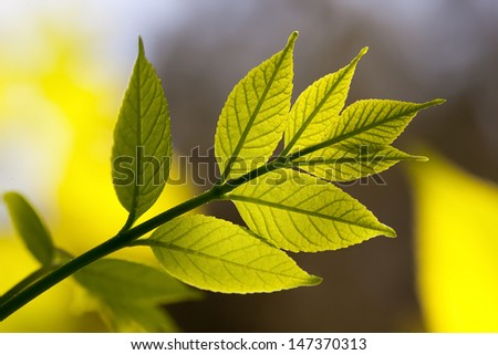 backlighting green leaves on a sunny day close up - stock photo