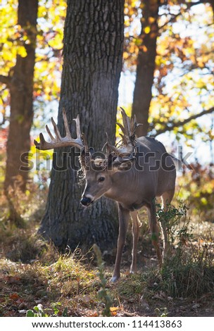 Backlit autumn image of a whitetail deer buck in Wisconsin.  Shallow Depth of Field. - stock photo