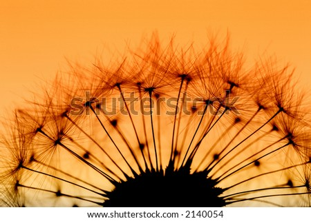 Backlit Dandelion - stock photo