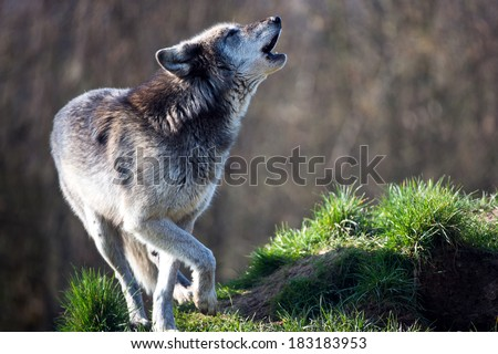 Backlit Grey Wolf howling against a background of dark forest/Grey Wolf/Grey Wolf  - stock photo