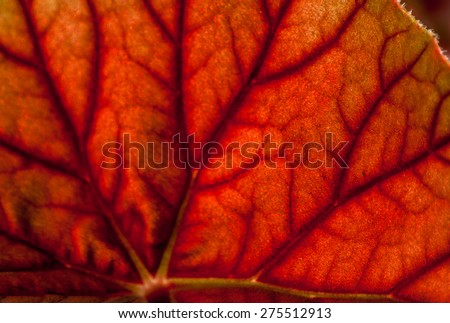 Backlit red leaf plant making an abstract background. - stock photo