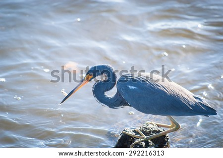 Backlit Tricolored Heron with a minnow it just caught in its beak - stock photo