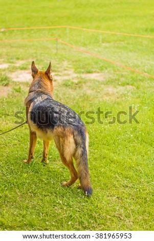 backside of German Shepherd on grass floor, dog in the park, german shepherd profile - stock photo