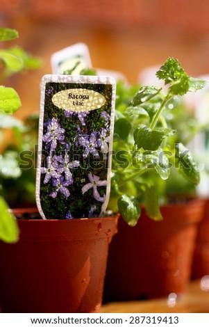 Bacopa plant pot garden centre - stock photo